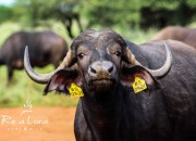 Re a Lora Game Breeders - Top Buffalo Genetics