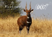"Re a Lora Game 19"" Bushbuck Breeding Ram James Bond"