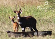 "Re a Lora Game 19"" Bushbuck Breeding Ram James Bond 007"