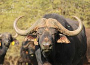 Re a Lora Game Breeding Buffalo Bull