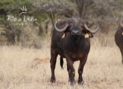 Re a Lora Game Breeders - Top Buffalo Cow