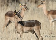 Re a Lora Game Breeders saddleback impala ewe