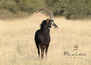 "Re a Lora Game Breeding Sable Bull - Zeiss Pure Zambian 46"" @ 4years 3 months (Son of Madala 48"")"
