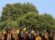 Re a lora Game Breeders - Sable Herd